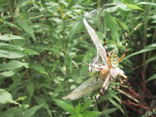 麻機、クモの巣のトンボ