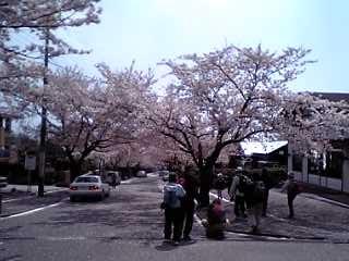 j城ヶ崎海岸桜並木