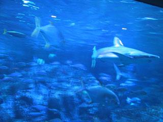 大水槽のサメ