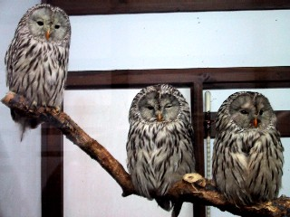 ural-owl.JPG