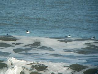 網走の海、ホオジロガモ