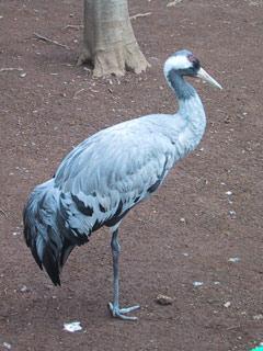 Tiba_common_crane