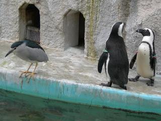 Ueno_penguin_goi2